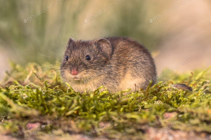 Bank vole looking in natural environment