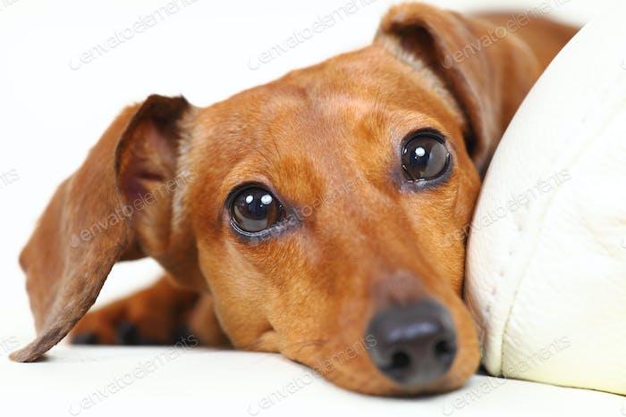 dachshund dog at home on sofa