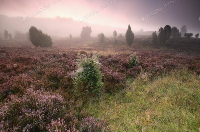 misty sunrise and blooming heather