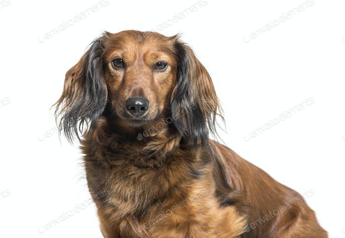 Dachshund, sausage dog, wiener dog sitting in front of white background