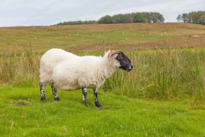 Northumberland Sheep