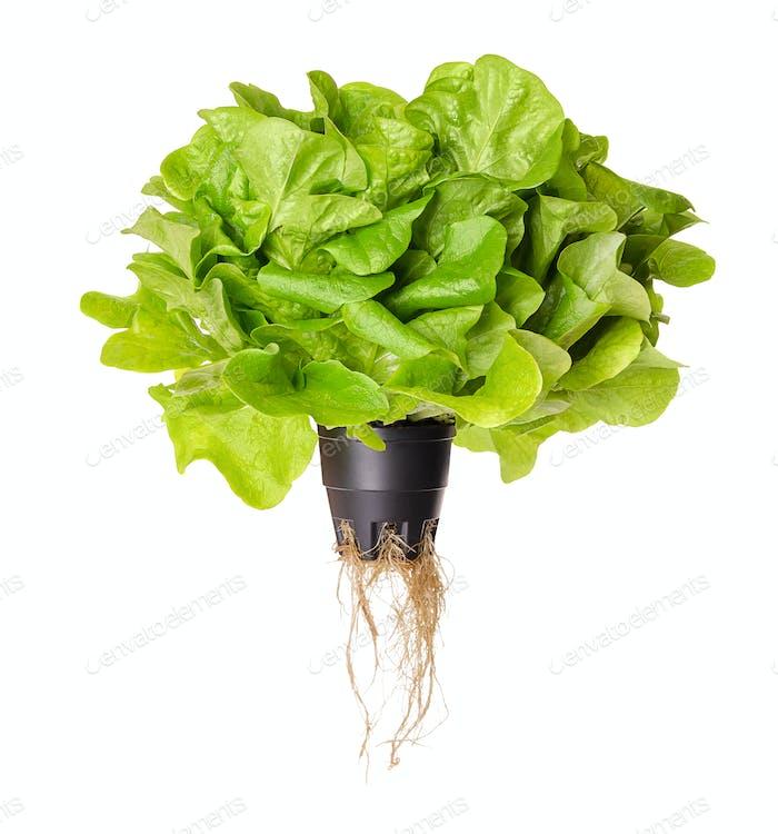 Salanova Green, living salad, front view