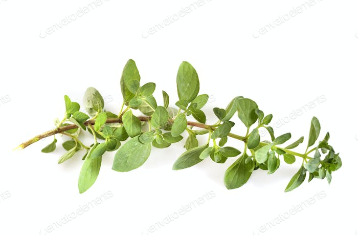Oregano in studio