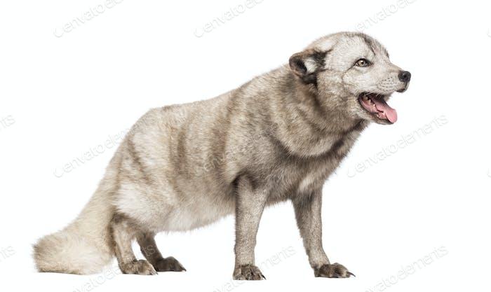 Arctic fox, Vulpes lagopus, also known as the white fox, polar fox or snow fox, standing, panting