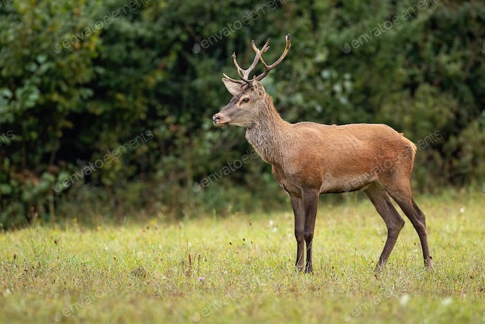 Red deer stag watching anxiously in the wilderness with copy space