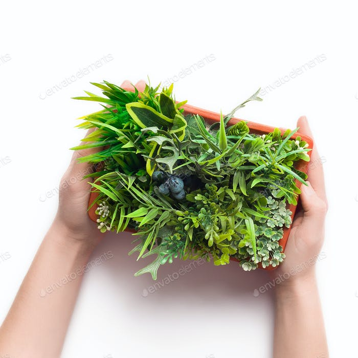 Florist holding decorative plant in pot on white background