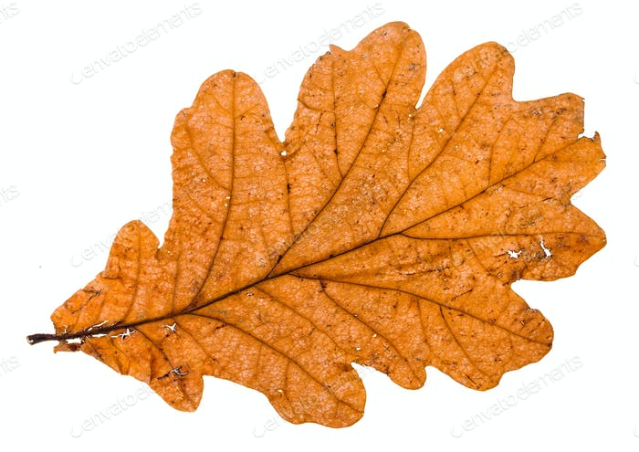 autumn broken leaf of oak tree isolated