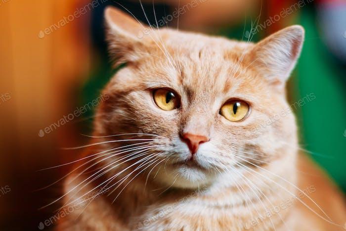 Orange Red Cat Male Kitten Close Up Portrait