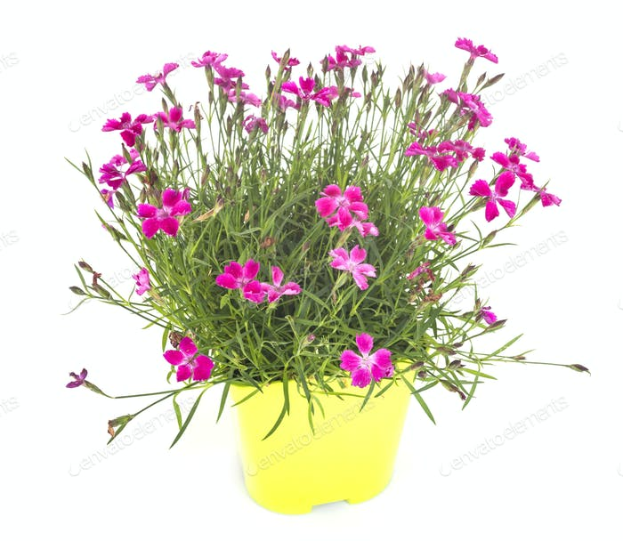 Dianthus in studio