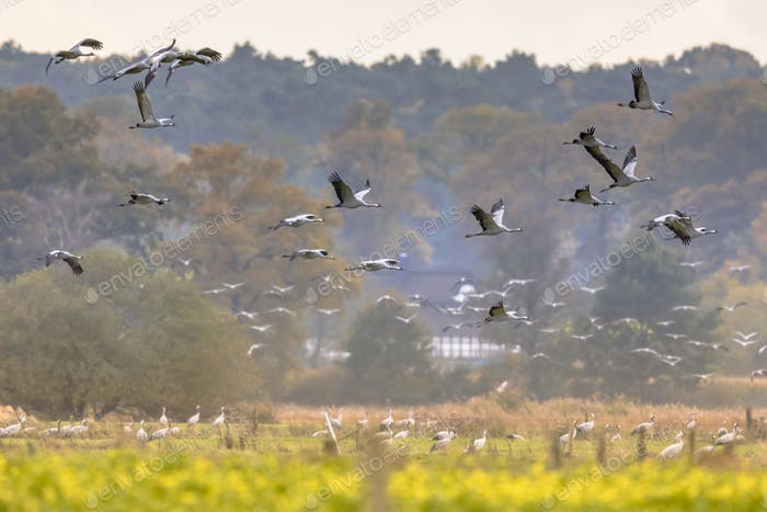 Flocks of cranes on migration in germany