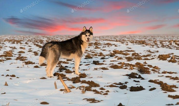husky dog on sunset