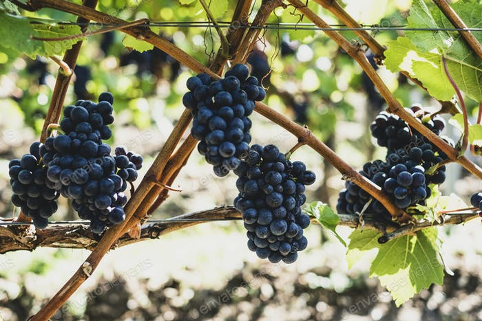 Close up of bunches of black grapes on a vine.