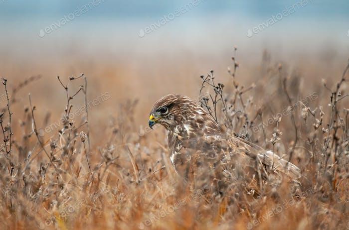 Bussard, versteckt sich in einem Gras und wartet auf Maus