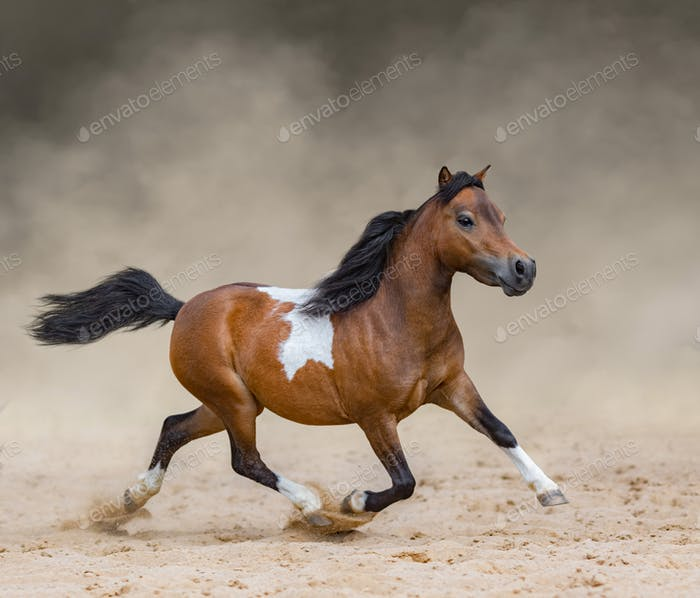 Skewbald American Miniature Horse running in dust.