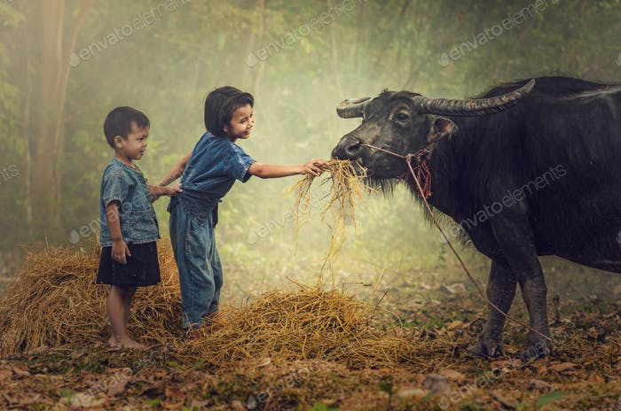 Asian boy and girl feeding grass to the buffalo at countryside, Countryside Lifestyle