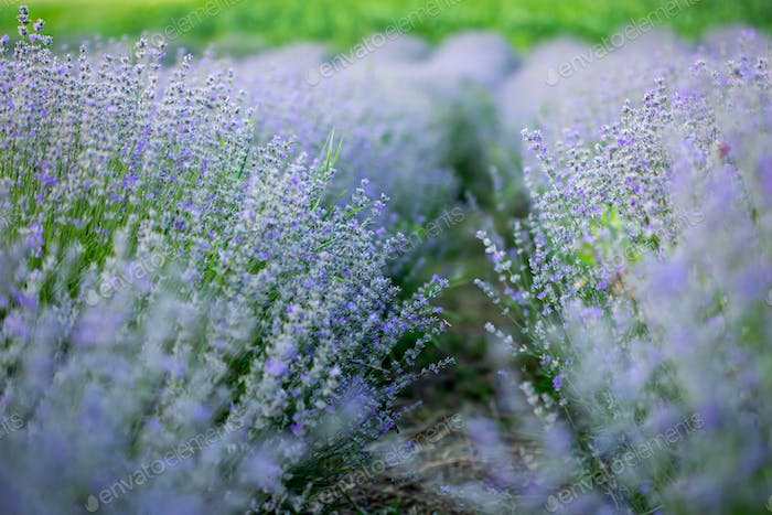 Lavender flowers in row, pastel colors and blur background.