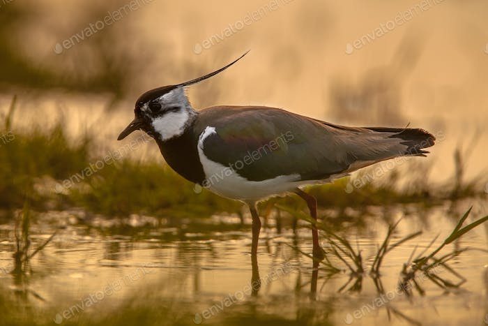 back lit Male Northern Lapwing sillhouette