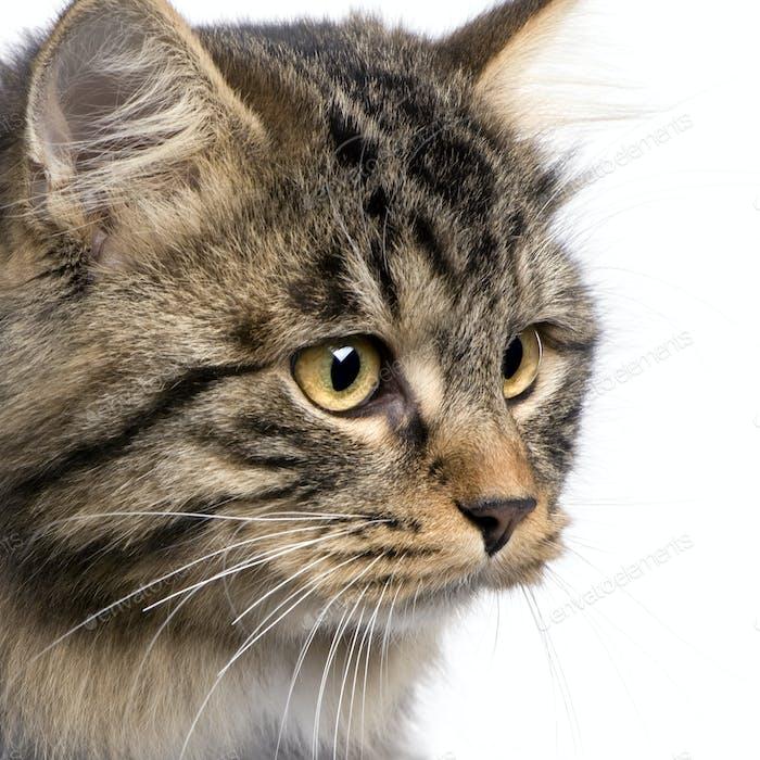 European cat