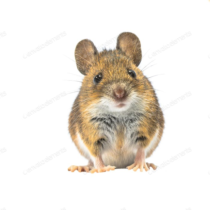 Beautiful mouse isolated on white background