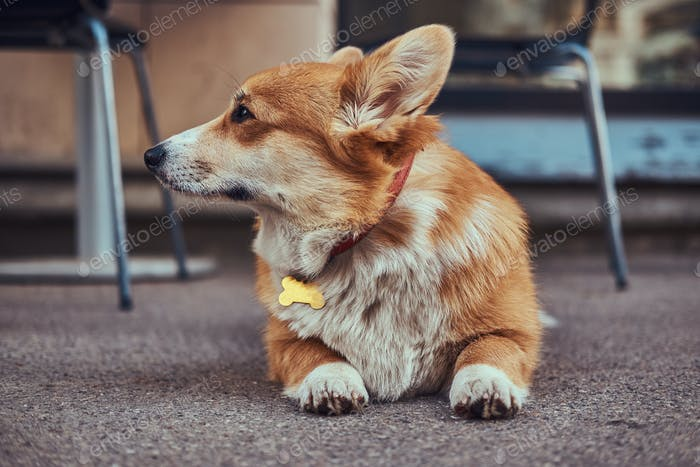 Cute breed Welsh corgi waiting for its owner, outdoors.