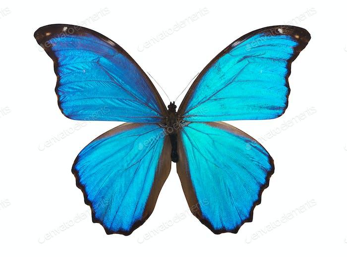 Butterfly morpho