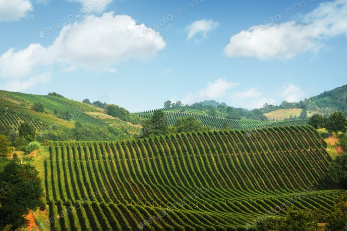 Amazing rural landscape with green vineyard