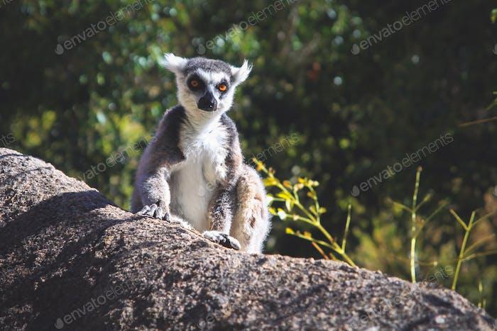 Lemur sunbathing on a rock
