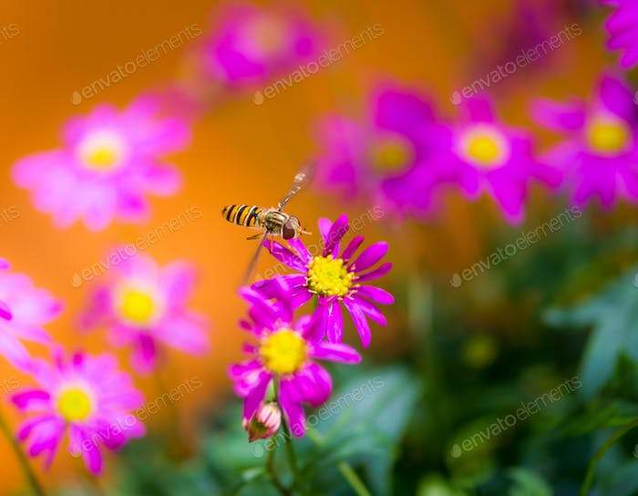 Hoverfly flying to a magenta daisy flower