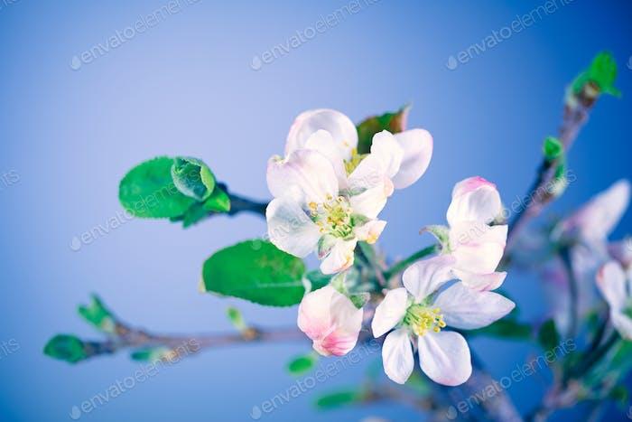 Blooming of apple tree