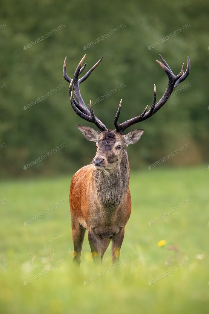 Close-up of a red deer stag in summer with big antlers faced to camera