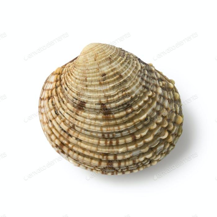 Fresh raw warty venus clam