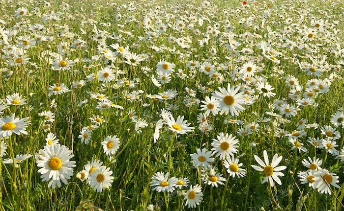 Spring daisy flowers  in meadow.