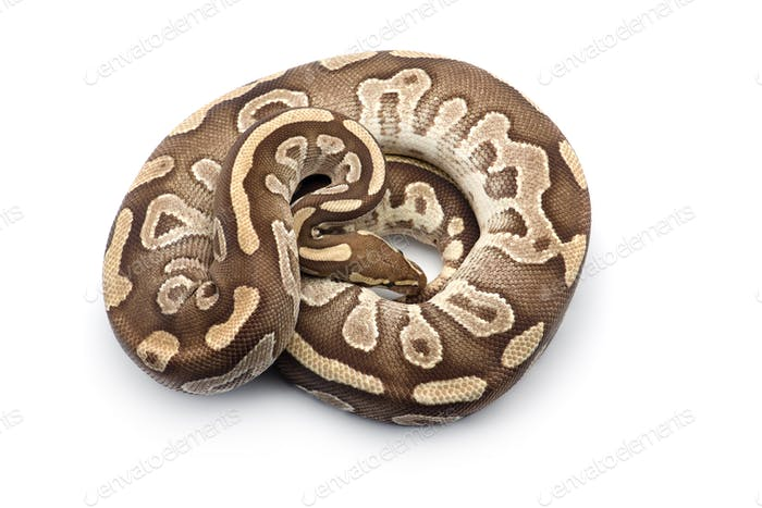 The royal python isolated on white background