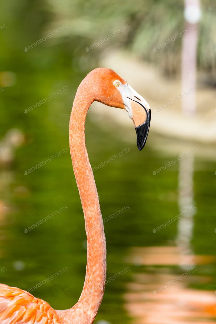 Close up of pink flamingo
