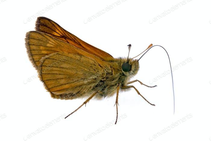 Mariposa marrón