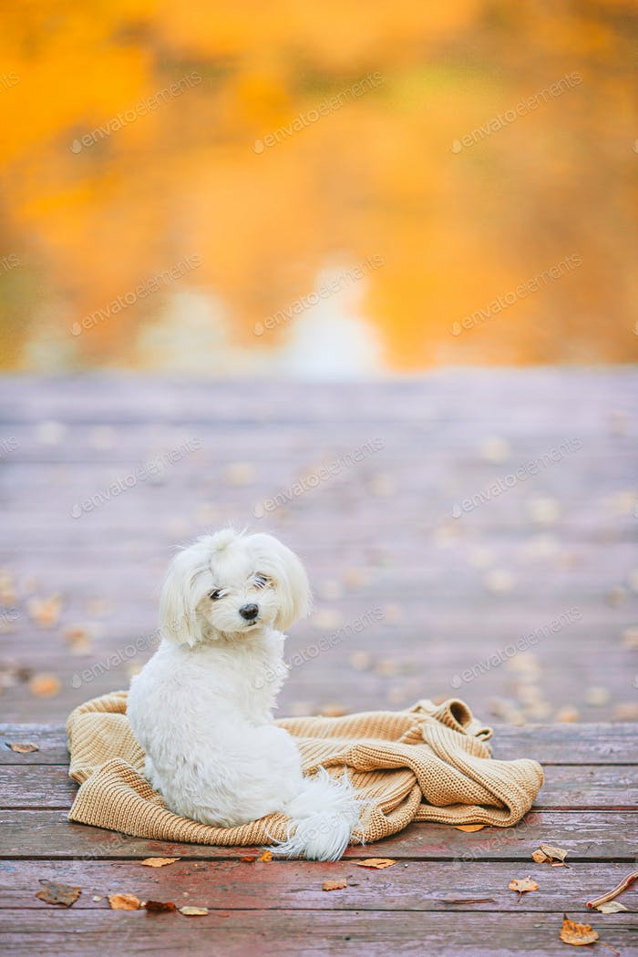 White dog maltese on a wooden pier at autumn