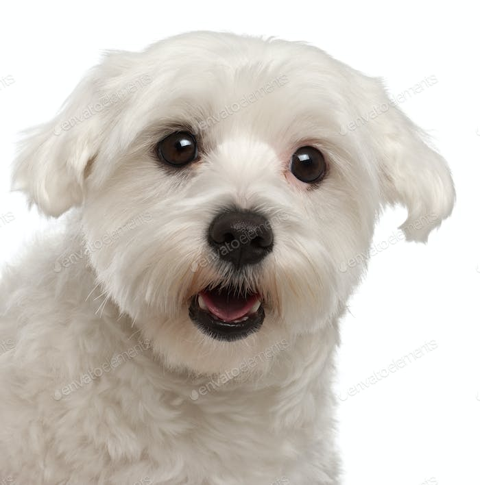 Close-up of Maltese panting, 2 years old, in front of white background