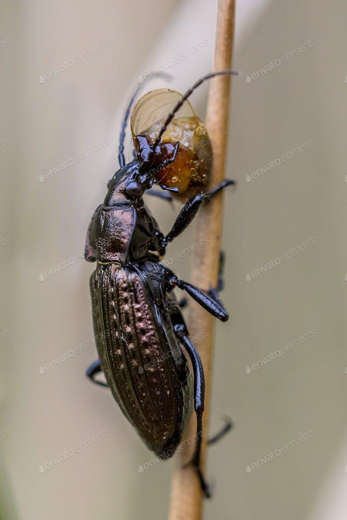 Predator Beetle eating small snail