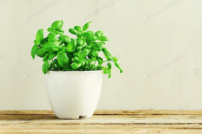 Fresh basil leaves, herb with water drops and sunlight on white background. Potted herbs. Macro