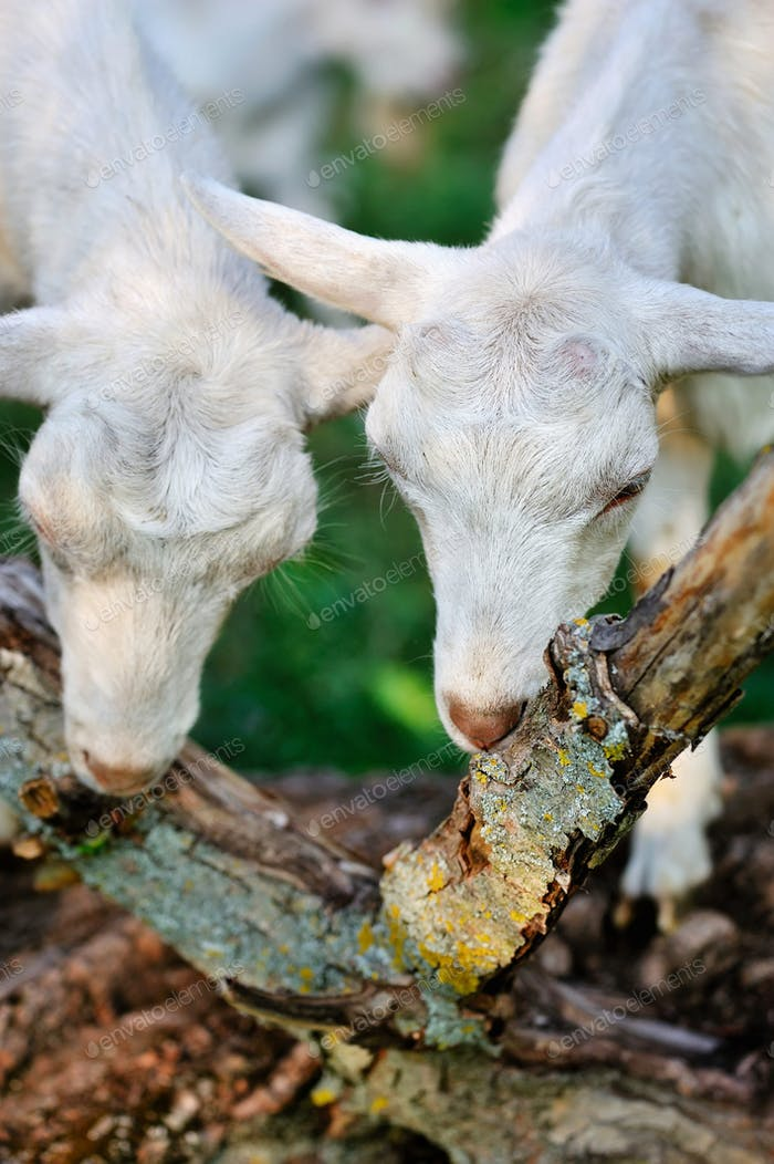 White goats on pasture eat bark