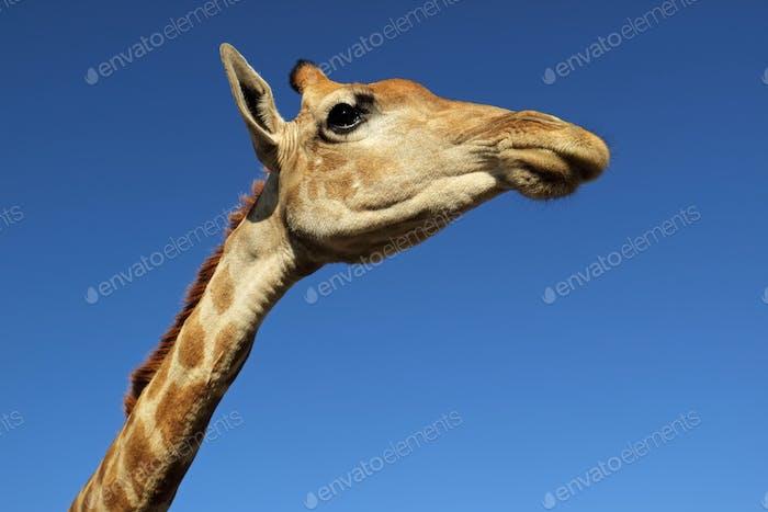 Giraffe portrait against a blue sky