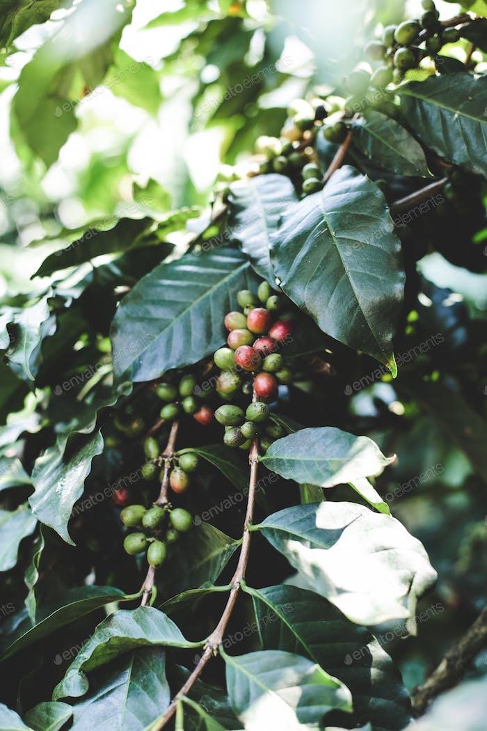 Kaffeebeere Reifung