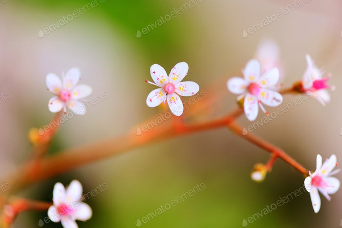Flowers Saxifraga closeup on natural background