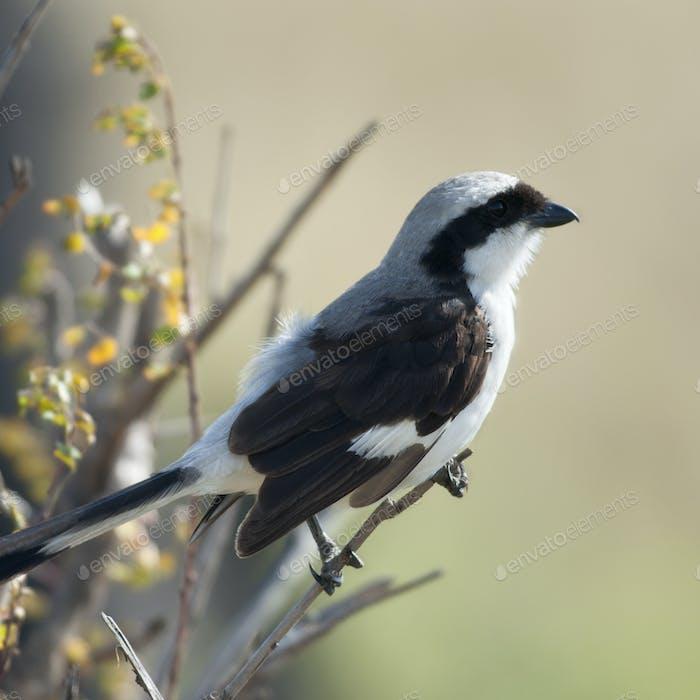 Grey-backed Fiscal, Lanius excubitoroides, in Serengeti National Park, Tanzania, Africa