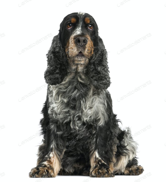 Front view of an English cocker spaniel sitting, 8 years old, isolated on white