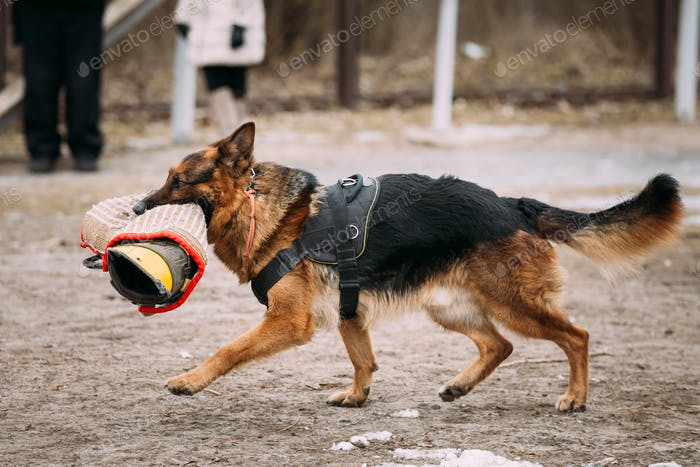 Purebred German Shepherd Young Dog Or Alsatian Wolf Dog. Attack
