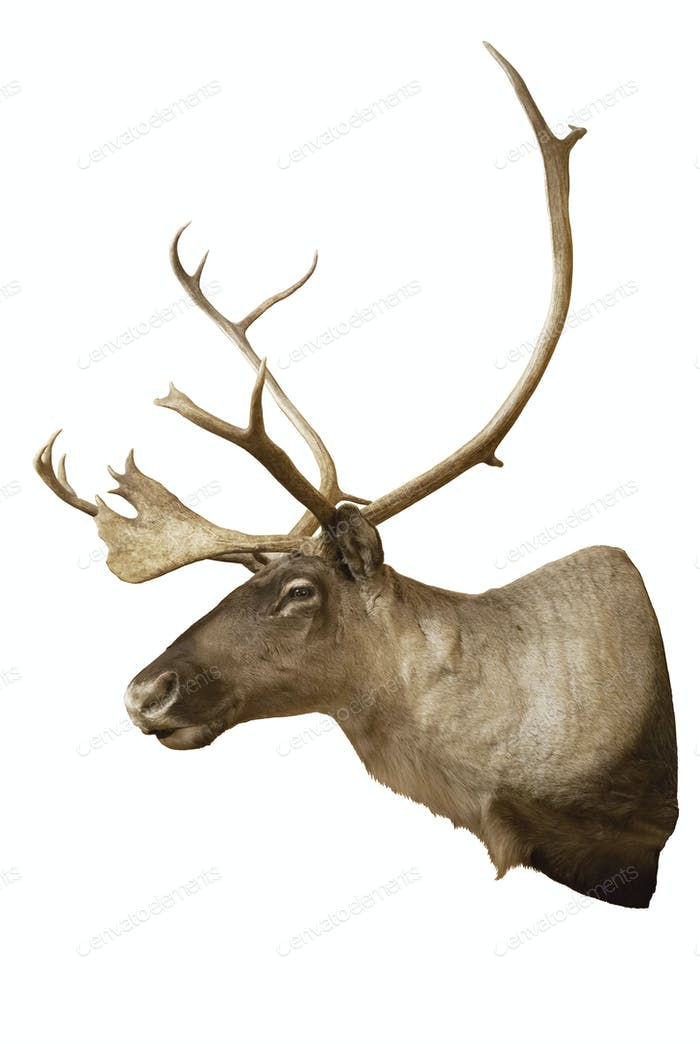 Caribou head and shoulders mount isolated on white