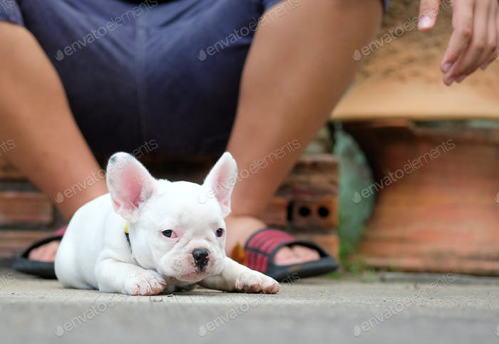 Young french bulldog white lying on the concrete floor.