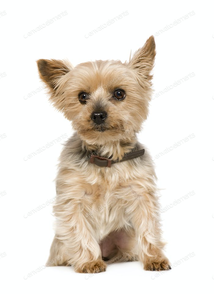 Yorkshire Terrier (10 years)