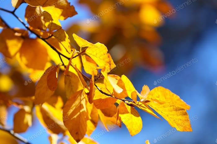 Autumn yellow leaves of poplar